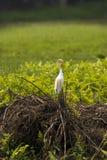 Uma única posição do pássaro do Egret de gado na grama e nos arbustos imagens de stock royalty free