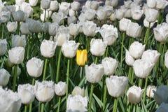 Uma única tulipa amarela entre um grupo de branco franjou tulipas bonitas Imagens de Stock