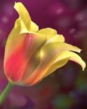 Uma única tulipa colorida com um fundo bonito fotografia de stock