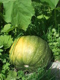 Uma abóbora verde grande está na terra entre as folhas e a grama fotografia de stock
