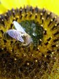 Uma abelha Imagem de Stock Royalty Free