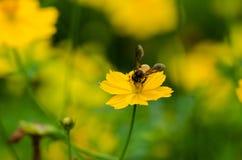 Uma abelha Fotografia de Stock
