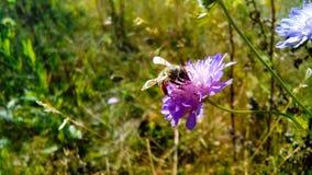 Uma abelha Foto de Stock Royalty Free