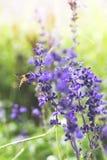 Uma abelha acima da flor roxa fotografia de stock royalty free