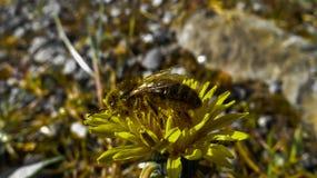 Uma abelha coberta no pólen Foto de Stock