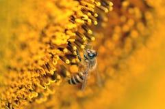 Uma abelha coleta o pólen Fotografia de Stock Royalty Free