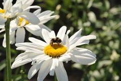 Uma abelha com uma flor da camomila recolhe o néctar imagem de stock