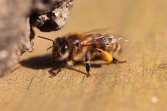 Uma abelha com pólen imagens de stock royalty free