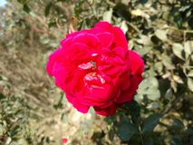Uma abelha da mosca na rosa vermelha imagem de stock
