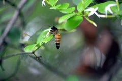 Uma abelha de Hunny que senta-se na planta Fotografia de Stock Royalty Free