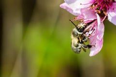 Uma abelha de trabalho dura que poliniza uma flor do sibilo em uma mola foto de stock royalty free
