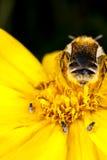 Uma abelha do cortador da folha e umas moscas parasíticas Foto de Stock Royalty Free