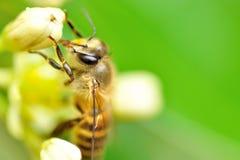 Uma abelha do mel imagens de stock royalty free