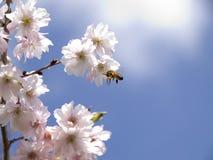 Uma abelha do mel que recolhe o néctar de uma flor Imagem de Stock