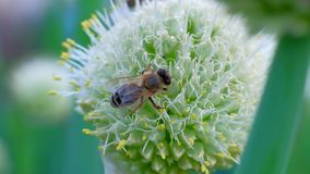 Uma abelha do mel que recolhe o pólen do néctar com a flor no dia ensolarado da mola video estoque