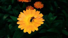 Uma abelha do mel recolhe flores amarelas do formulário do mel fotos de stock