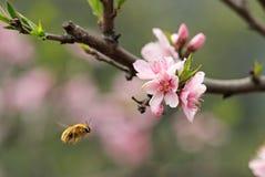 Uma abelha do voo Imagem de Stock Royalty Free