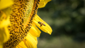 Uma abelha e um girassol pequenos Fotografia de Stock