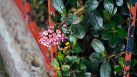 Uma abelha e uma flor Fotografia de Stock Royalty Free