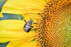 Uma abelha em um girassol de florescência, jaspe, Geórgia, EUA imagens de stock