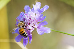 Uma abelha em uma flor Foto de Stock