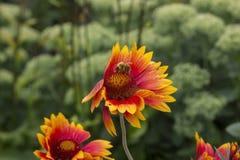 Uma abelha em uma flor imagens de stock