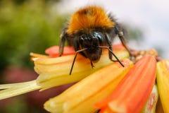 Uma abelha em uma flor alaranjada Imagem de Stock