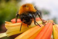 Uma abelha em uma flor alaranjada Fotografia de Stock