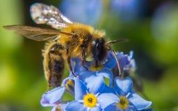 Uma abelha em uma flor azul e amarela do miosótis Fotografia de Stock Royalty Free