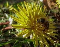 Uma abelha em uma flor coberta no pólen Foto de Stock Royalty Free
