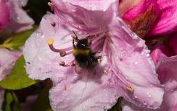 Uma abelha em uma flor cor-de-rosa Imagens de Stock Royalty Free