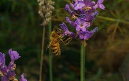 Uma abelha em uma flor da alfazema Fotos de Stock Royalty Free