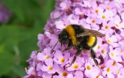 Uma abelha em uma flor de Buddleja Imagem de Stock