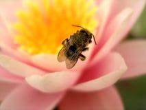 Uma abelha em uma flor de lótus cor-de-rosa Fotografia de Stock Royalty Free
