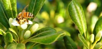 Uma abelha em uma flor dos pittosporo Fotografia de Stock Royalty Free