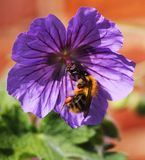 Uma abelha em uma flor roxa do gerânio Foto de Stock Royalty Free