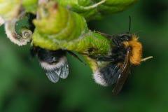 Uma abelha em uma folha verde Fotografia de Stock Royalty Free