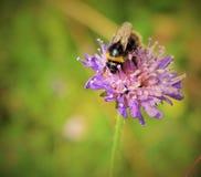 Uma abelha em uma planta Imagens de Stock