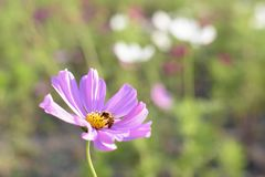 Uma abelha está recolhendo o mel Fotografia de Stock