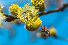Uma abelha europeia de trabalho dura do mel que poliniza uma flor amarela dentro imagem de stock