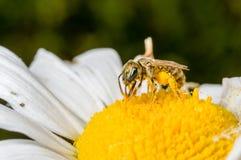 Uma abelha minúscula em uma flor Imagem de Stock