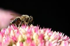 Uma abelha na flor Foto de Stock Royalty Free