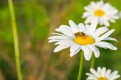 Uma abelha na flor branca Fotografia de Stock Royalty Free