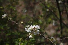 Uma abelha nas flores de cerejeira foto de stock royalty free