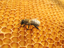 Uma abelha no favo de mel fotos de stock