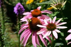 Uma abelha no jardim 3 Fotografia de Stock