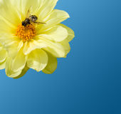 Uma abelha no trabalho Fotografia de Stock Royalty Free