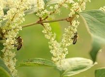 Uma abelha ocupada Foto de Stock Royalty Free