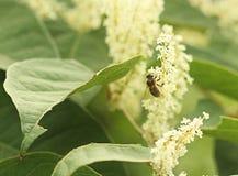 Uma abelha ocupada Fotografia de Stock Royalty Free