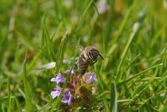 Uma abelha ocupada Imagem de Stock Royalty Free